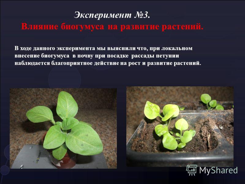 Эксперимент 3. Влияние биогумуса на развитие растений. В ходе данного эксперимента мы выяснили что, при локальном внесение биогумуса в почву при посадке рассады петунии наблюдается благоприятное действие на рост и развитие растений.