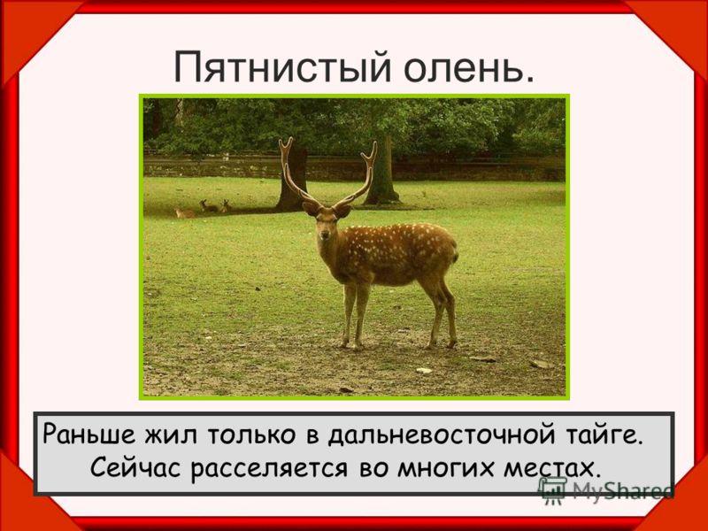 Пятнистый олень. Раньше жил только в дальневосточной тайге. Сейчас расселяется во многих местах.