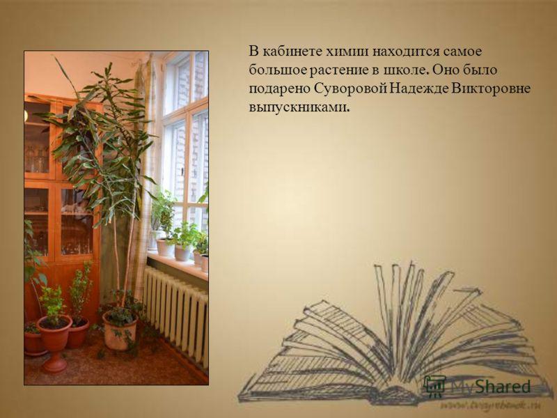 В кабинете химии находится самое большое растение в школе. Оно было подарено Суворовой Надежде Викторовне выпускниками.