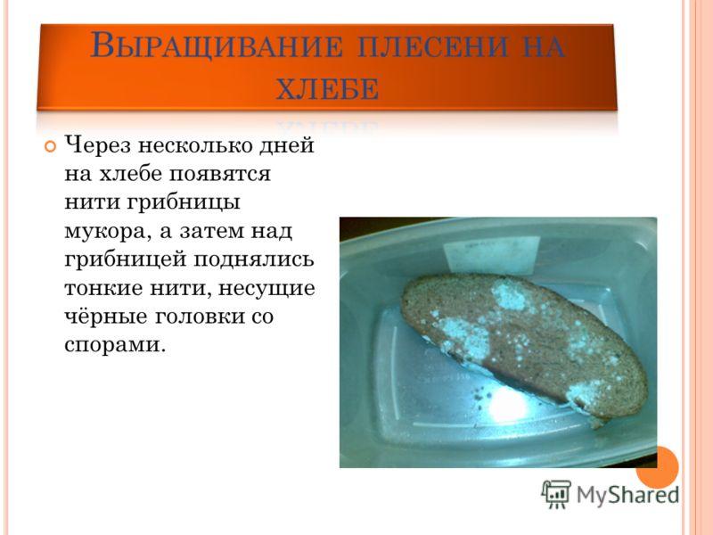 Через несколько дней на хлебе появятся нити грибницы мукора, а затем над грибницей поднялись тонкие нити, несущие чёрные головки со спорами.