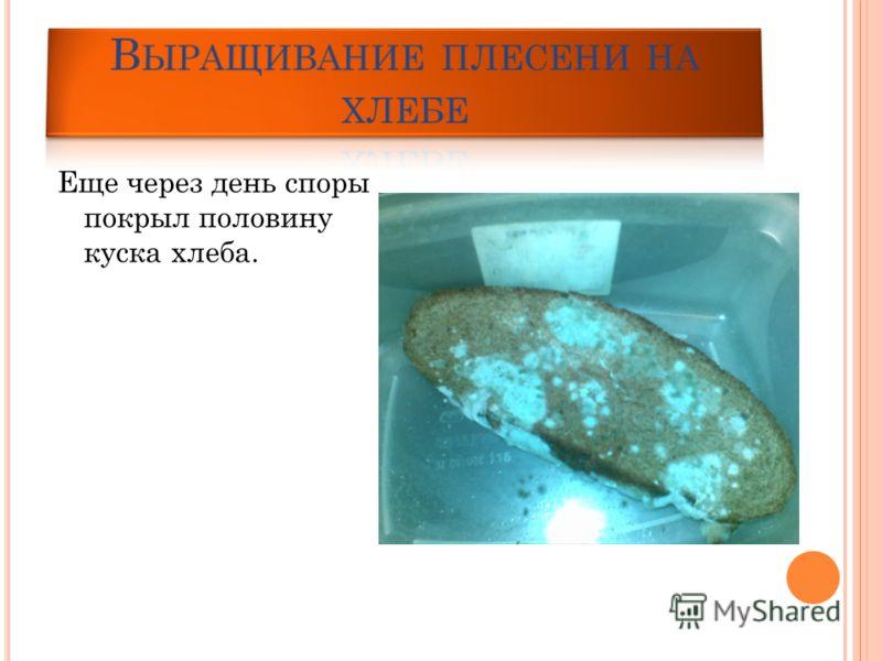 Еще через день споры покрыл половину куска хлеба.
