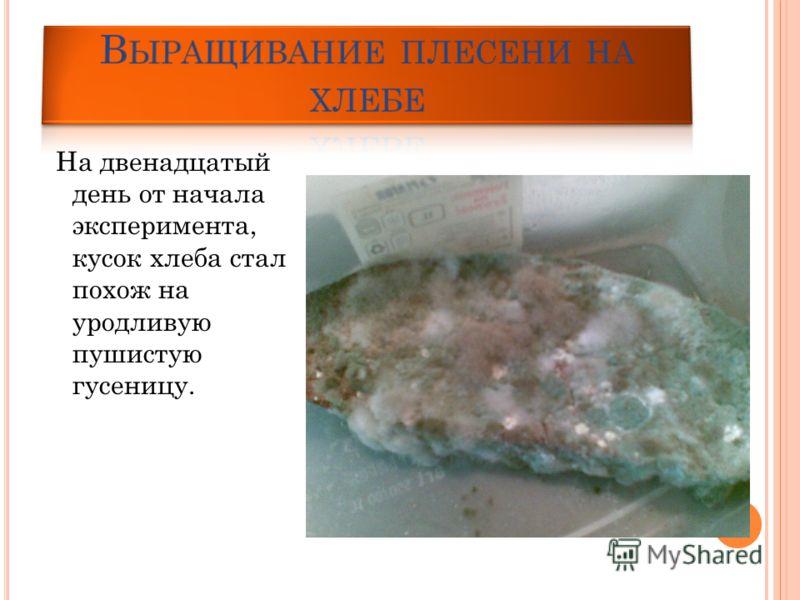 На двенадцатый день от начала эксперимента, кусок хлеба стал похож на уродливую пушистую гусеницу.