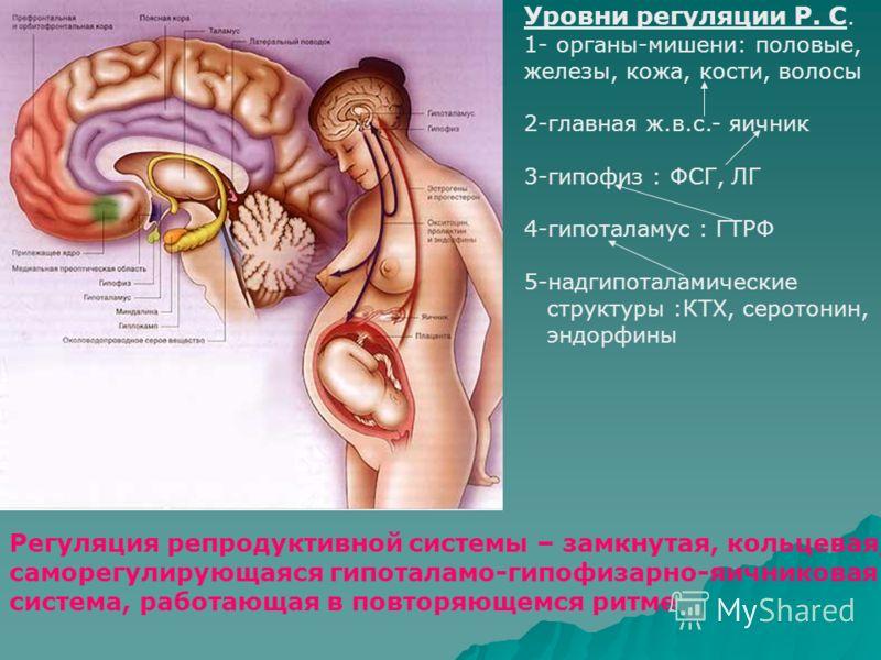 Уровни регуляции Р. С. 1- органы-мишени: половые, железы, кожа, кости, волосы 2-главная ж.в.с.- яичник 3-гипофиз : ФСГ, ЛГ 4-гипоталамус : ГТРФ 5-надгипоталамические структуры :КТХ, серотонин, эндорфины Регуляция репродуктивной системы – замкнутая, к