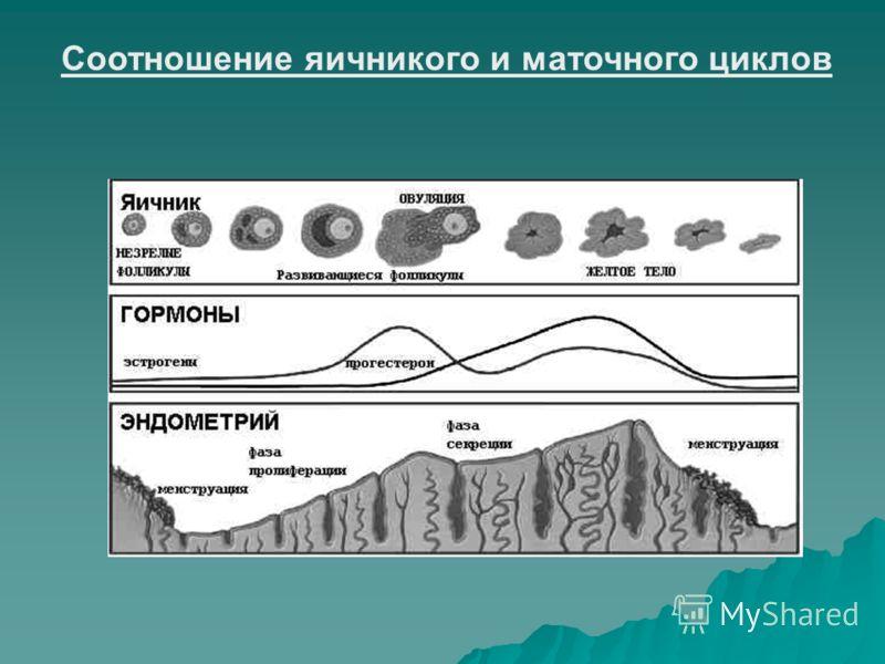 Соотношение яичникого и маточного циклов