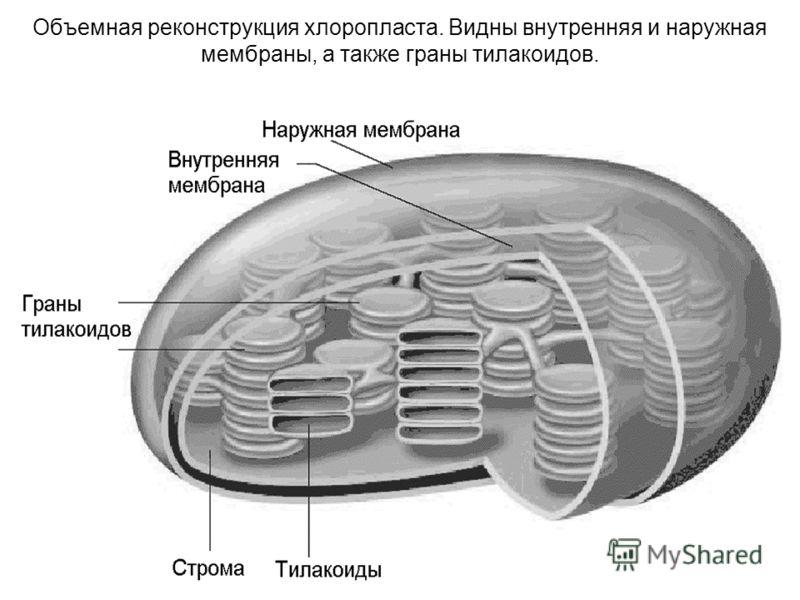 17 Объемная реконструкция хлоропласта. Видны внутренняя и наружная мембраны, а также граны тилакоидов.