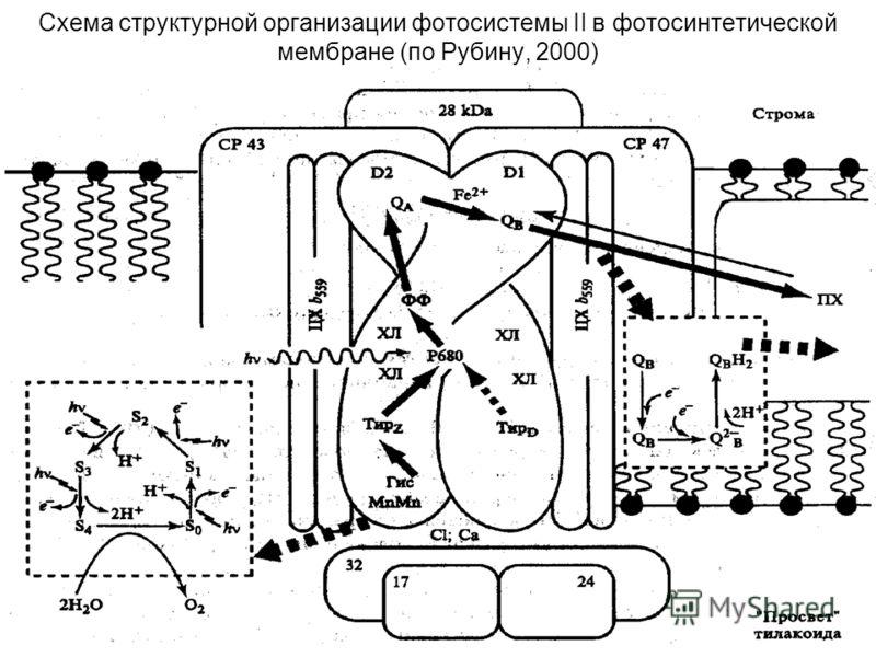 57 Схема структурной организации фотосистемы II в фотосинтетической мембране (по Рубину, 2000)