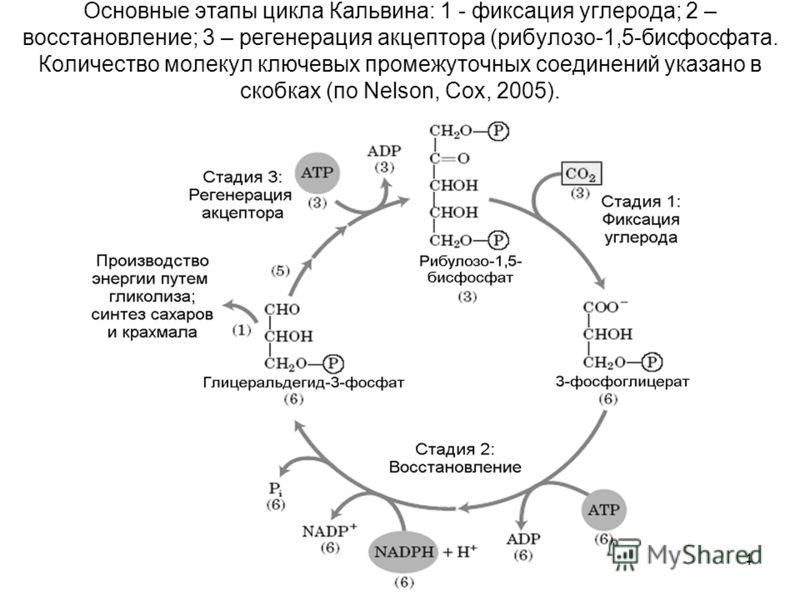 74 Основные этапы цикла Кальвина: 1 - фиксация углерода; 2 – восстановление; 3 – регенерация акцептора (рибулозо-1,5-бисфосфата. Количество молекул ключевых промежуточных соединений указано в скобках (по Nelson, Cox, 2005).