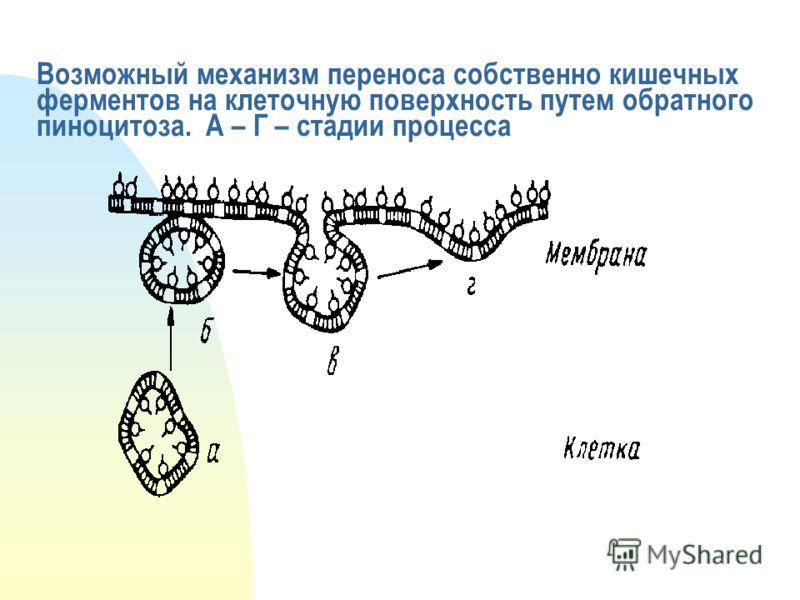 Возможный механизм переноса собственно кишечных ферментов на клеточную поверхность путем обратного пиноцитоза. А – Г – стадии процесса