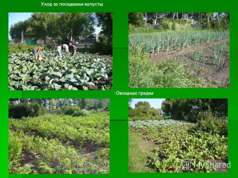 Уход за посадками капусты Овощные грядки