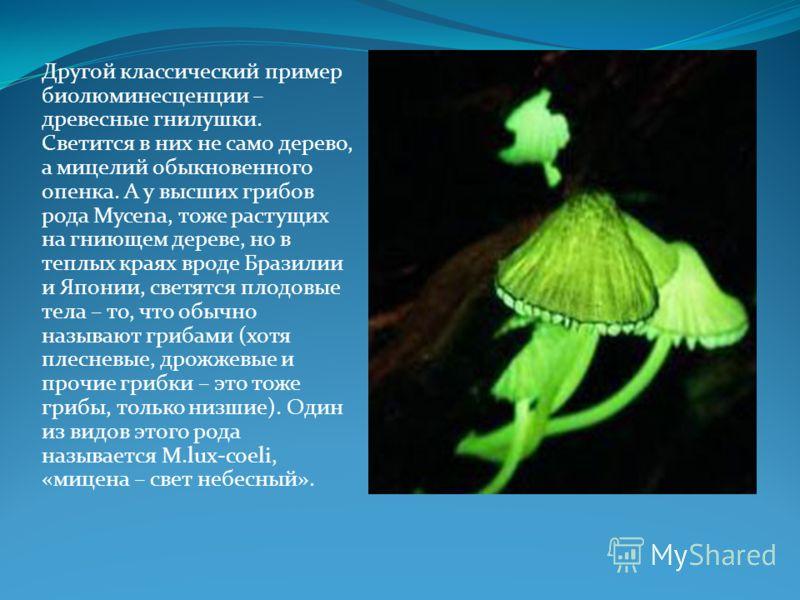 Другой классический пример биолюминесценции – древесные гнилушки. Светится в них не само дерево, а мицелий обыкновенного опенка. А у высших грибов рода Mycena, тоже растущих на гниющем дереве, но в теплых краях вроде Бразилии и Японии, светятся плодо