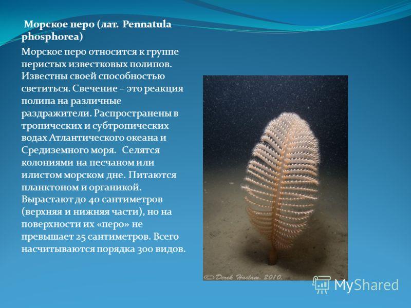 Морское перо (лат. Pennatula phosphorea) Морское перо относится к группе перистых известковых полипов. Известны своей способностью светиться. Свечение – это реакция полипа на различные раздражители. Распространены в тропических и субтропических водах