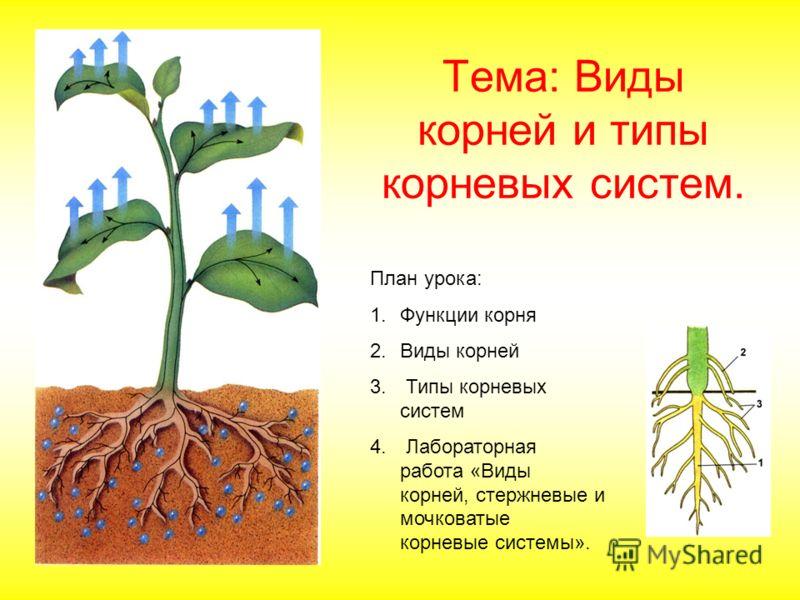 Тема: Виды корней и типы корневых систем. План урока: 1.Функции корня 2.Виды корней 3. Типы корневых систем 4. Лабораторная работа «Виды корней, стержневые и мочковатые корневые системы».