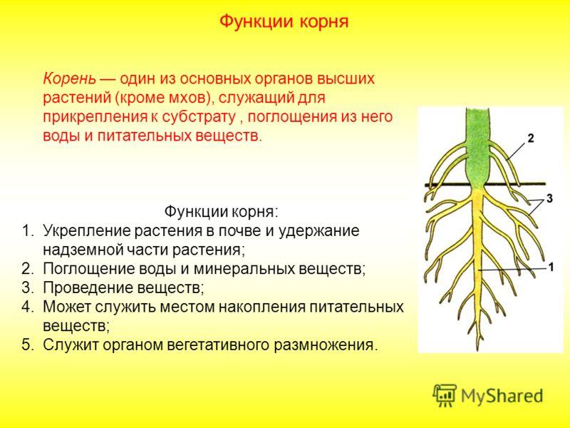 Корень один из основных органов высших растений (кроме мхов), служащий для прикрепления к субстрату, поглощения из него воды и питательных веществ. Функции корня: 1.Укрепление растения в почве и удержание надземной части растения; 2.Поглощение воды и
