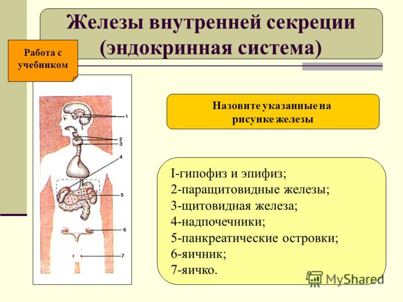 Железы внутренней секреции (эндокринная система) I-гипофиз и эпифиз; 2-паращитовидные железы; 3-щитовидная железа; 4-надпочечники; 5-панкреатические островки; 6-яичник; 7-яичко. Назовите указанные на рисунке железы Работа с учебником