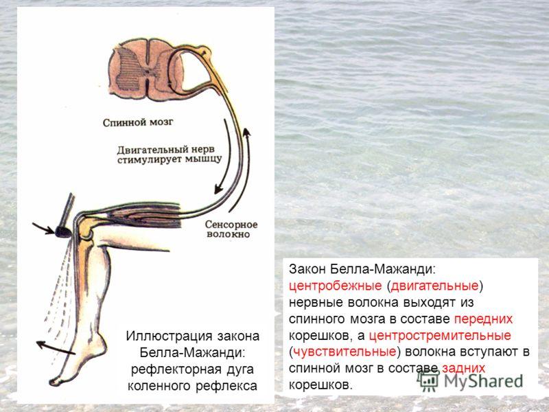 Закон Белла-Мажанди: центробежные (двигательные) нервные волокна выходят из спинного мозга в составе передних корешков, а центростремительные (чувствительные) волокна вступают в спинной мозг в составе задних корешков. Иллюстрация закона Белла-Мажанди