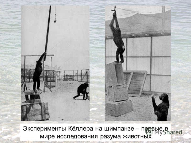Эксперименты Кёллера на шимпанзе – первые в мире исследования разума животных