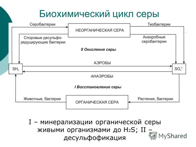 Биохимический цикл серы I – минерализации органической серы живыми организмами до H 2 S; II – десульфофикация