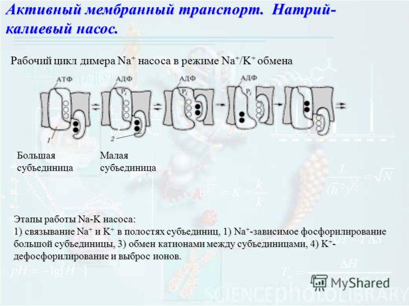 Активный мембранный транспорт. Натрий- калиевый насос. Рабочий цикл димера Na + насоса в режиме Na + /K + обмена БольшаясубъединицаМалаясубъединица Этапы работы Na-K насоса: 1) связывание Na + и K + в полостях субъединиц, 1) Na + -зависимое фосфорили