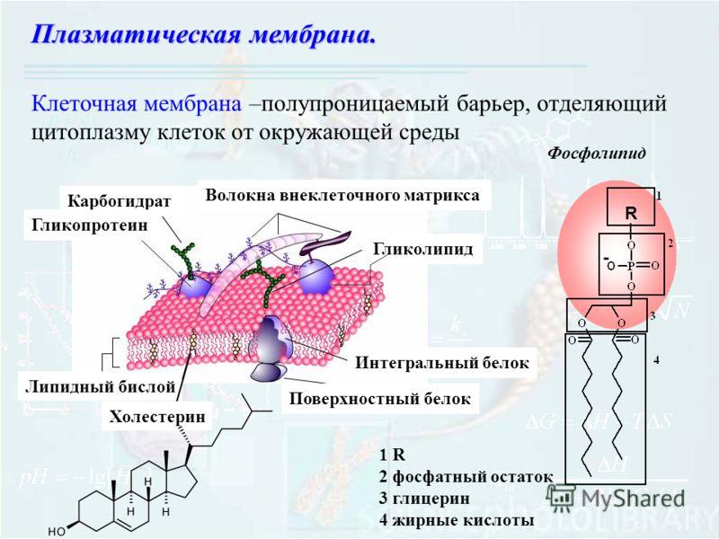 Клеточная мембрана –полупроницаемый барьер, отделяющий цитоплазму клеток от окружающей среды Плазматическая мембрана. Липидный бислой Холестерин Поверхностный белок Интегральный белок Гликолипид Волокна внеклеточного матрикса Карбогидрат Гликопротеин