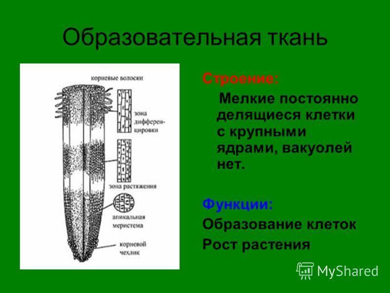 Образовательная ткань Строение: Мелкие постоянно делящиеся клетки с крупными ядрами, вакуолей нет. Функции: Образование клеток Рост растения