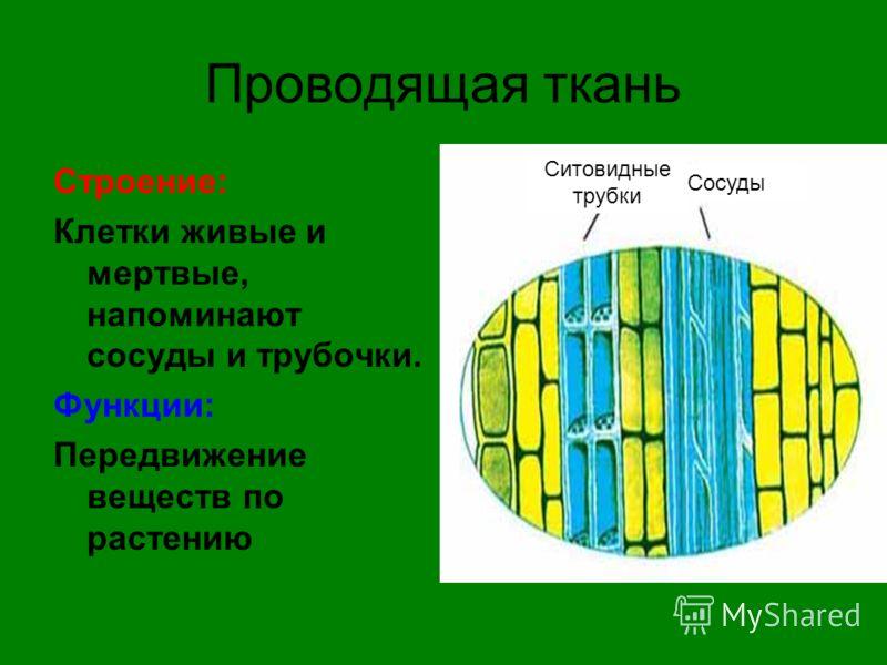 Проводящая ткань Строение: Клетки живые и мертвые, напоминают сосуды и трубочки. Функции: Передвижение веществ по растению Сосуды Ситовидные трубки