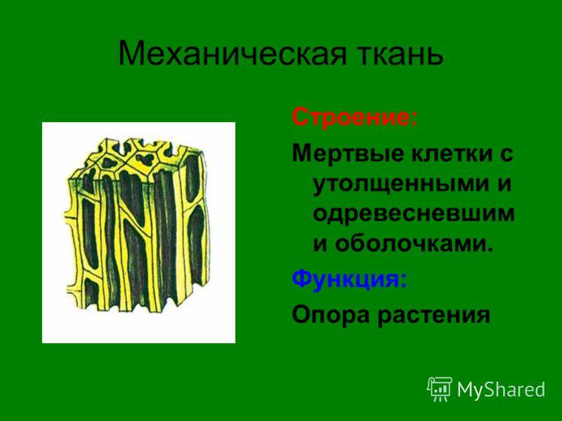Механическая ткань Строение: Мертвые клетки с утолщенными и одревесневшим и оболочками. Функция: Опора растения