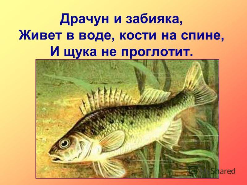 Драчун и забияка, Живет в воде, кости на спине, И щука не проглотит. 7