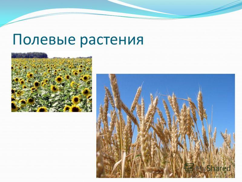 Полевые растения