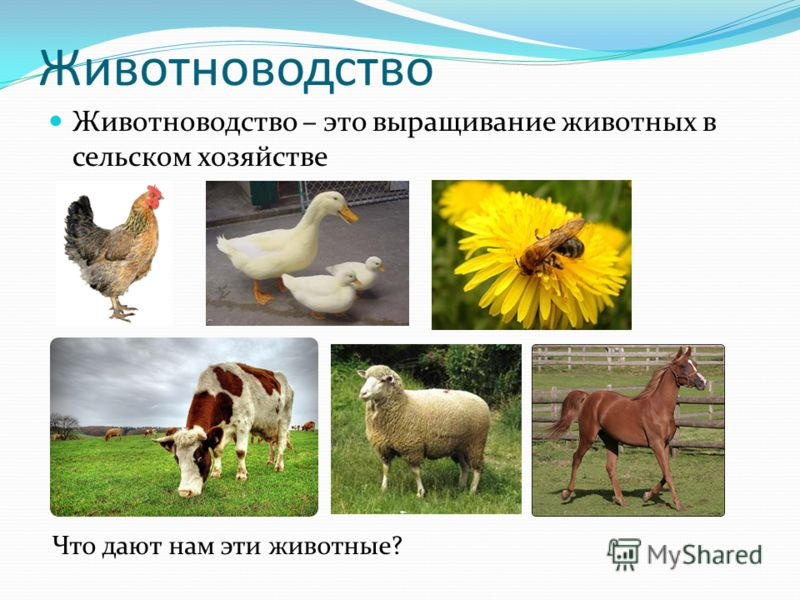 Животноводство Животноводство – это выращивание животных в сельском хозяйстве Что дают нам эти животные?