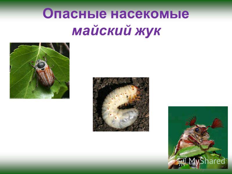 Опасные насекомые майский жук