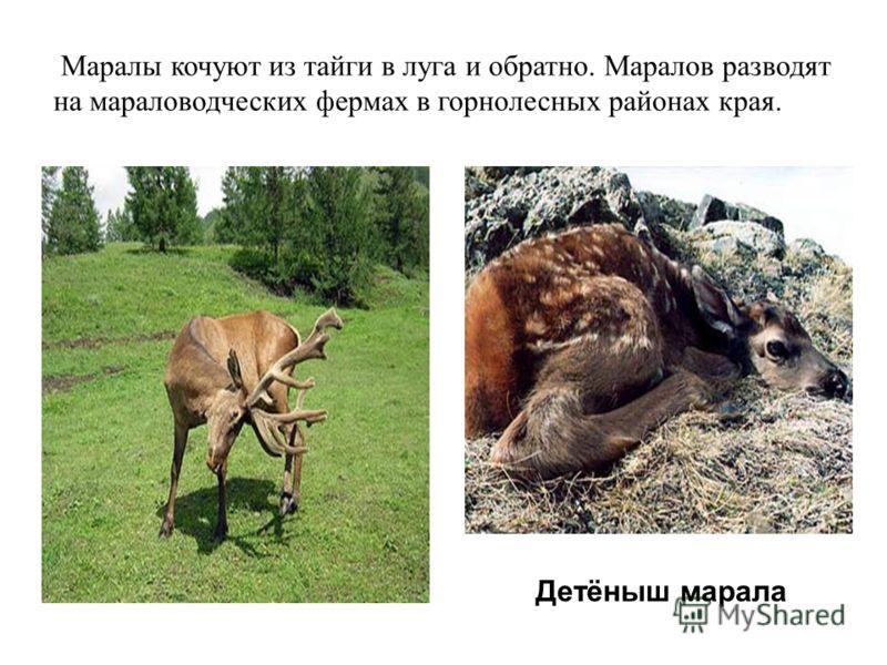 Маралы кочуют из тайги в луга и обратно. Маралов разводят на мараловодческих фермах в горнолесных районах края. Детёныш марала