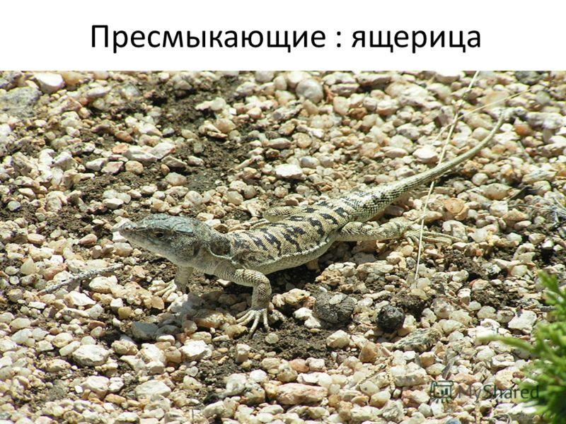 Пресмыкающие : ящерица