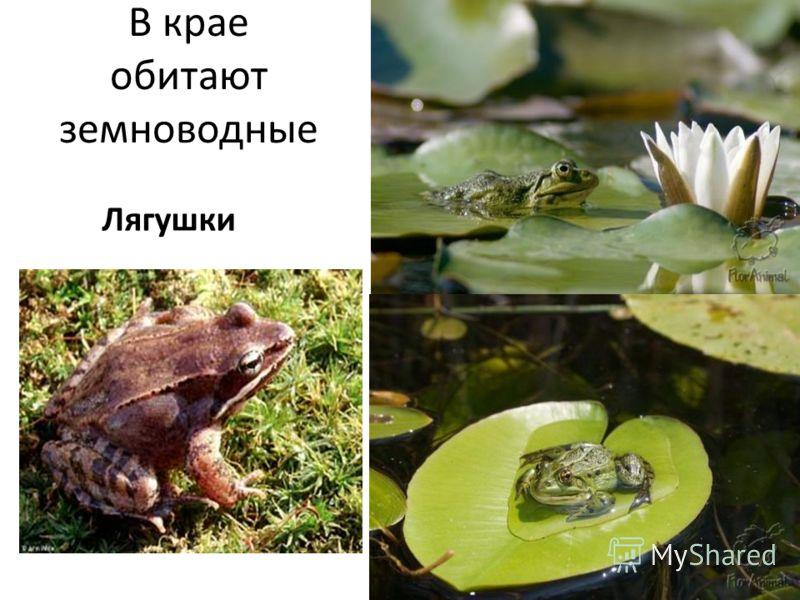 В крае обитают земноводные Лягушки