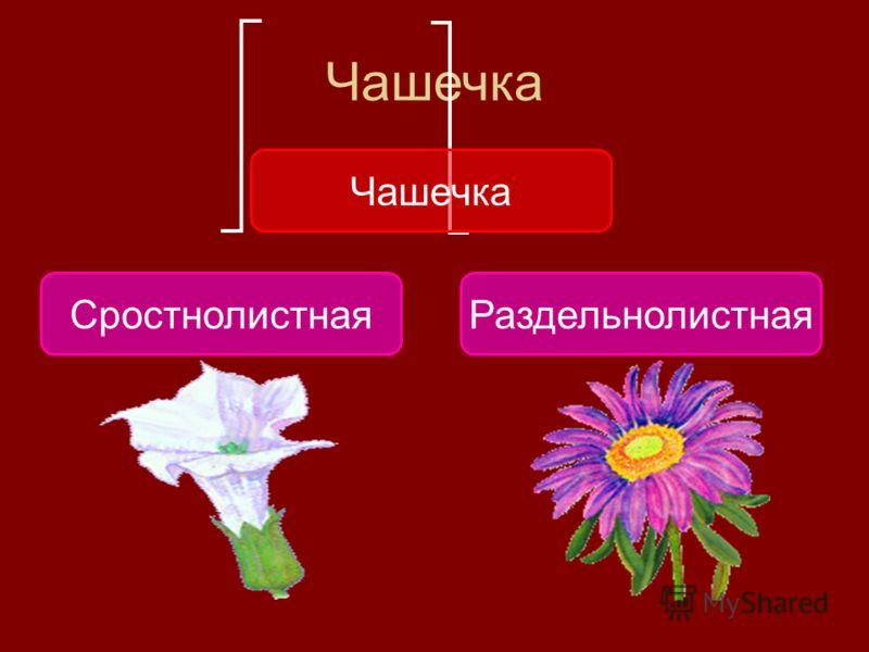 Чашечка СростнолистнаяРаздельнолистная