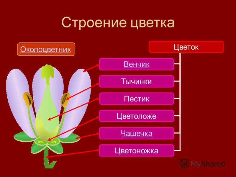 Строение цветка Цветок Венчик Чашечка Тычинки Пестик Цветоложе Цветоножка Околоцветник