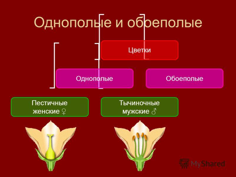 Однополые и обоеполые Цветки ОднополыеОбоеполые Пестичные женские Тычиночные мужские