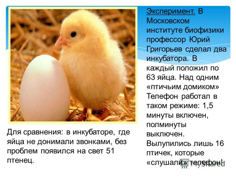 Эксперимент. В Московском институте биофизики профессор Юрий Григорьев сделал два инкубатора. В каждый положил по 63 яйца. Над одним «птичьим домиком» Телефон работал в таком режиме: 1,5 минуты включен, полминуты выключен. Вылупились лишь 16 птичек,