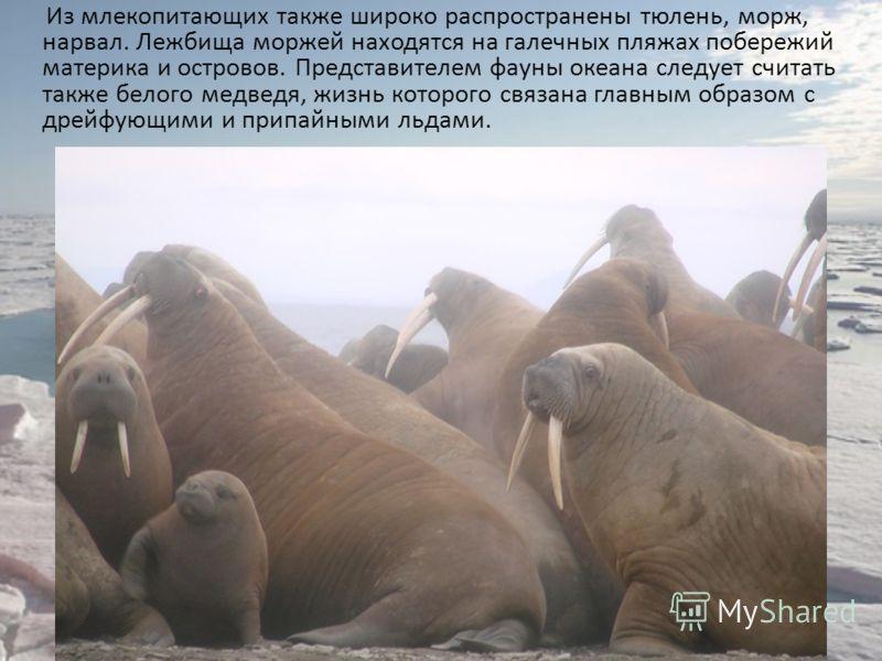 Из млекопитающих также широко распространены тюлень, морж, нарвал. Лежбища моржей находятся на галечных пляжах побережий материка и островов. Представителем фауны океана следует считать также белого медведя, жизнь которого связана главным образом с д