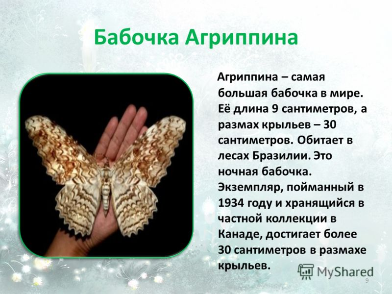 Бабочка Агриппина Агриппина – самая большая бабочка в мире. Её длина 9 сантиметров, а размах крыльев – 30 сантиметров. Обитает в лесах Бразилии. Это ночная бабочка. Экземпляр, пойманный в 1934 году и хранящийся в частной коллекции в Канаде, достигает