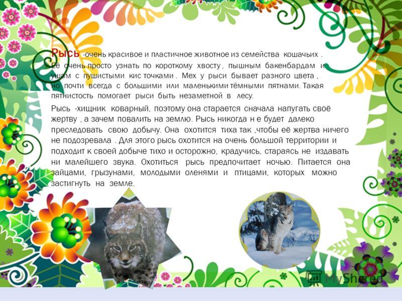 Рысь -очень красивое и пластичное животное из семейства кошачьих. Её очень просто узнать по короткому хвосту, пышным бакенбардам и ушам с пушистыми кис точками. Мех у рыси бывает разного цвета, но почти всегда с большими или маленькими тёмными пятнам