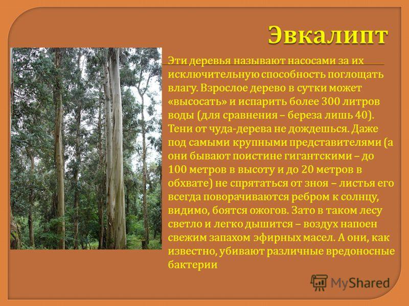 Эти деревья называют насосами за их исключительную способность поглощать влагу. Взрослое дерево в сутки может « высосать » и испарить более 300 литров воды ( для сравнения – береза лишь 40). Тени от чуда - дерева не дождешься. Даже под самыми крупным