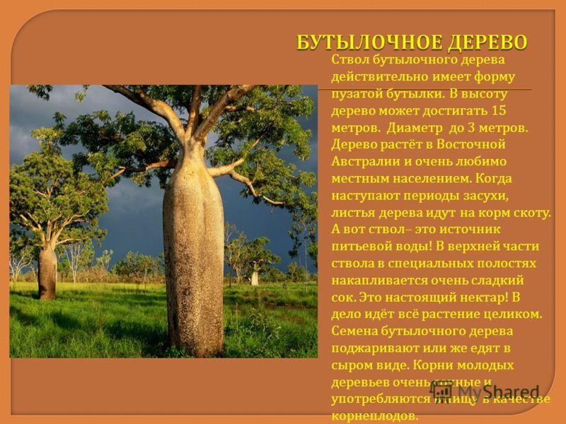 Ствол бутылочного дерева действительно имеет форму пузатой бутылки. В высоту дерево может достигать 15 метров. Диаметр до 3 метров. Дерево растёт в Восточной Австралии и очень любимо местным населением. Когда наступают периоды засухи, листья дерева и