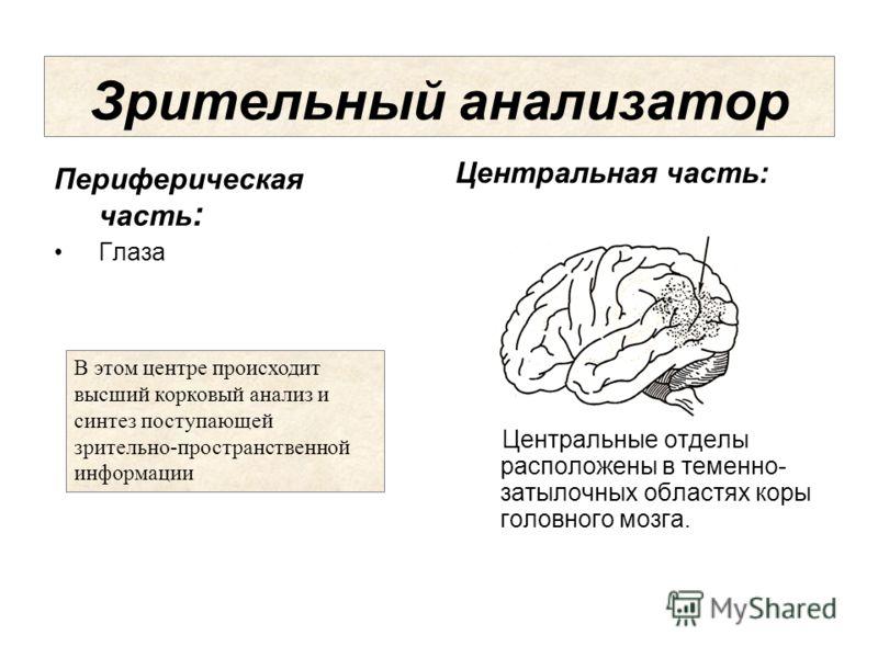 Центральная часть: Центральные отделы расположены в теменно- затылочных областях коры головного мозга. Зрительный анализатор Периферическая часть : Глаза В этом центре происходит высший корковый анализ и синтез поступающей зрительно-пространственной