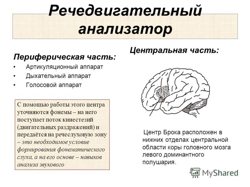 Речедвигательный анализатор Периферическая часть: Артикуляционный аппарат Дыхательный аппарат Голосовой аппарат Центральная часть: Центр Брока расположен в нижних отделах центральной области коры головного мозга левого доминантного полушария. С помощ