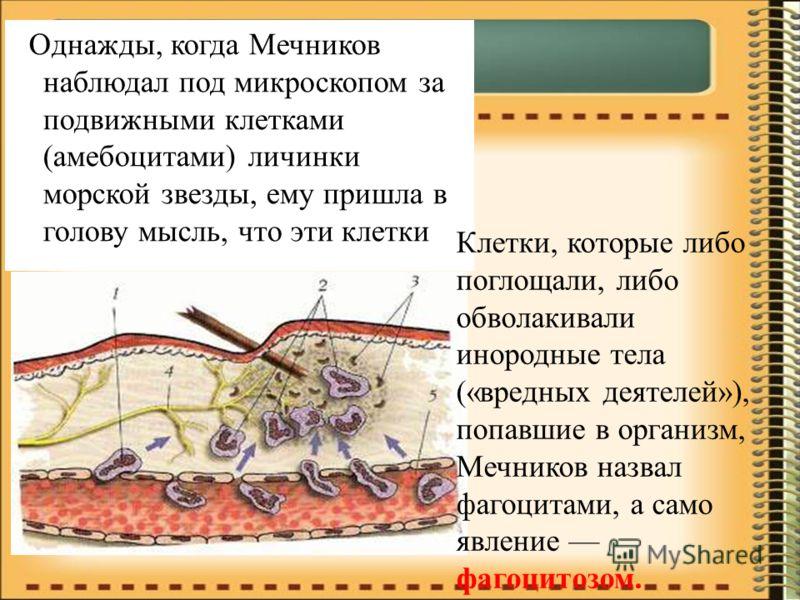 Однажды, когда Мечников наблюдал под микроскопом за подвижными клетками (амебоцитами) личинки морской звезды, ему пришла в голову мысль, что эти клетки ….. Клетки, которые либо поглощали, либо обволакивали инородные тела («вредных деятелей»), попавши