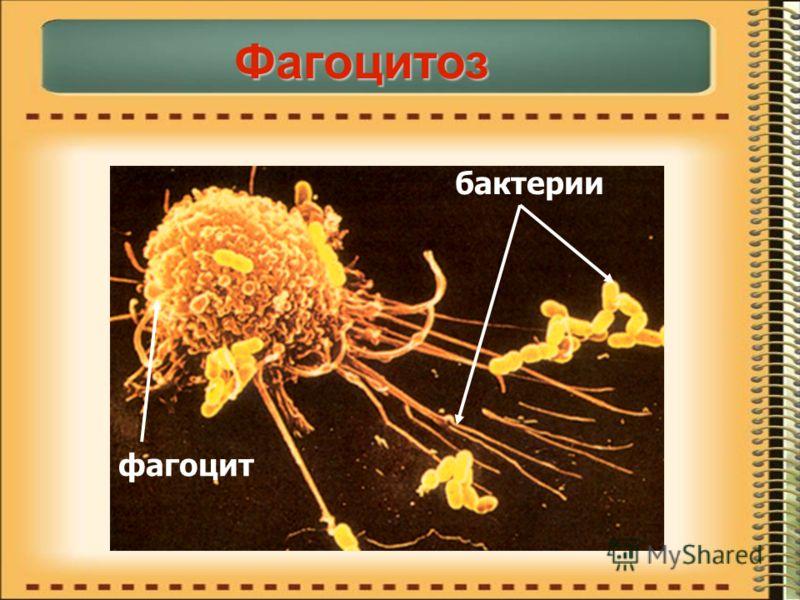 фагоцит бактерии Фагоцитоз