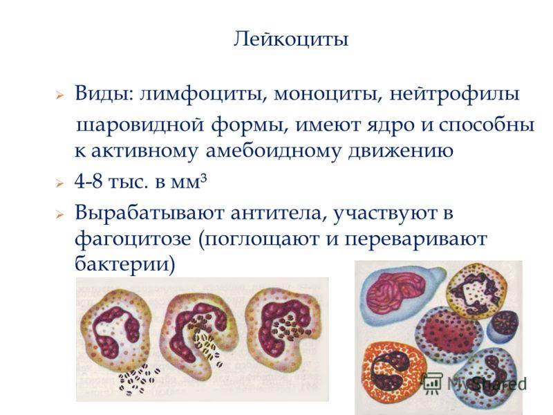 Лейкоциты Виды: лимфоциты, моноциты, нейтрофилы шаровидной формы, имеют ядро и способны к активному амебоидному движению 4-8 тыс. в мм³ Вырабатывают антитела, участвуют в фагоцитозе (поглощают и переваривают бактерии)