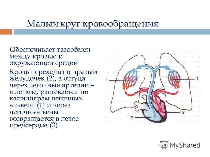 Малый круг кровообращения Обеспечивает газообмен между кровью и окружающей средой Кровь переходит в правый желудочек (2), а оттуда через легочные артерии – в легкие, растекается по капиллярам легочных альвеол (1) и через легочные вены возвращается в