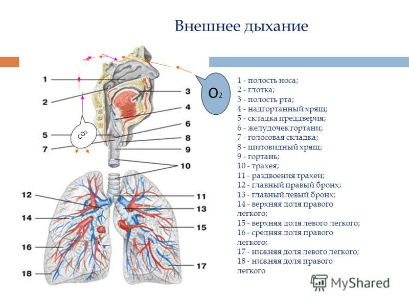 Внешнее дыхание 1 - полость носа; 2 - глотка; 3 - полость рта; 4 - надгортанный хрящ; 5 - складка преддверия; 6 - желудочек гортани; 7 - голосовая складка; 8 - щитовидный хрящ; 9 - гортань; 10 - трахея; 11 - раздвоения трахеи; 12 - главный правый бро