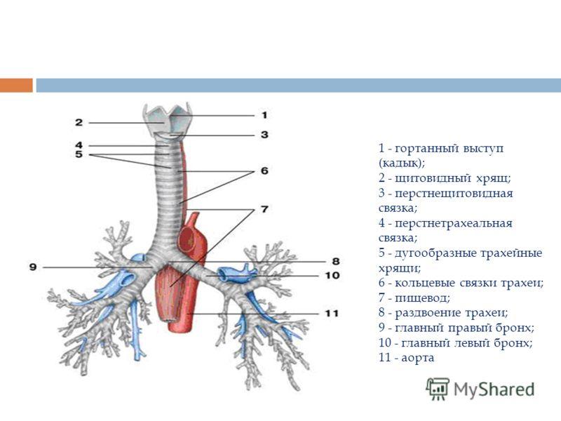 1 - гортанный выступ (кадык); 2 - щитовидный хрящ; 3 - перстнещитовидная связка; 4 - перстнетрахеальная связка; 5 - дугообразные трахейные хрящи; 6 - кольцевые связки трахеи; 7 - пищевод; 8 - раздвоение трахеи; 9 - главный правый бронх; 10 - главный